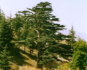 O Cedro do Líbano
